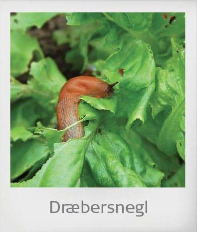 killer-snail